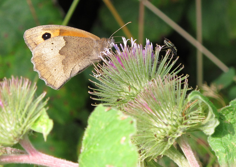 Meadow Brown butterfly (and unknown fly things!) on a Lesser Burdock.