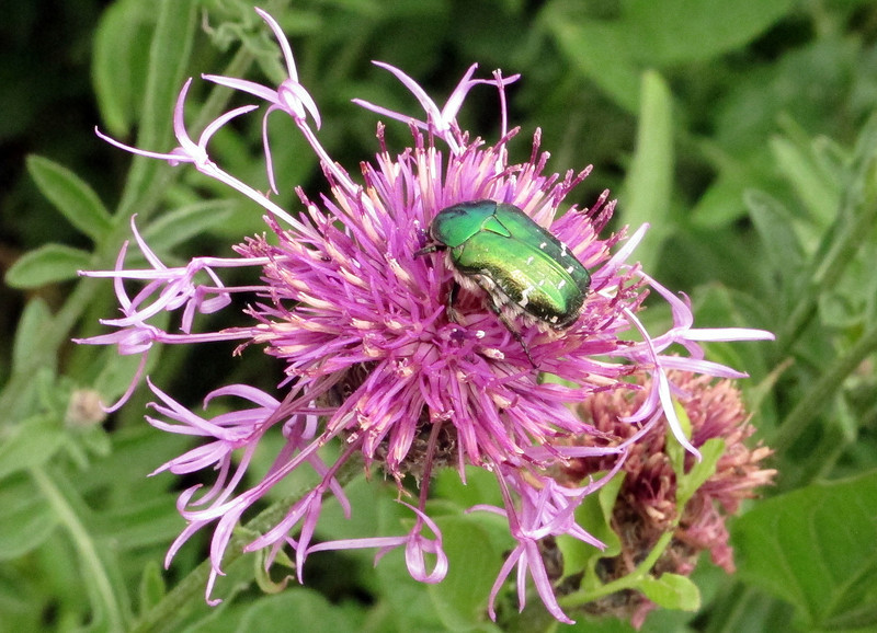 A Rose Chafer (the green beetle) on a Saw Wort plant.