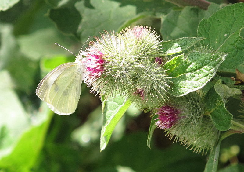 A large White butterfly on a Lesser Burdock.