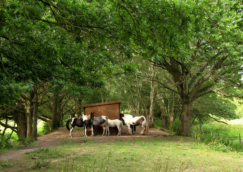 Horses let out to graze on this land take advantage of shelter under trees alongside the abandoned railway line.