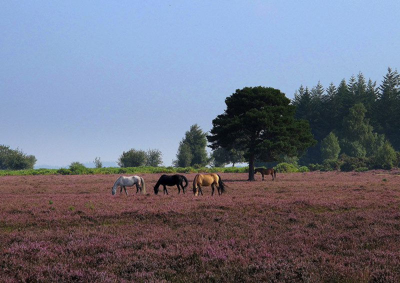 New Forest ponies graze unfenced in the forest.