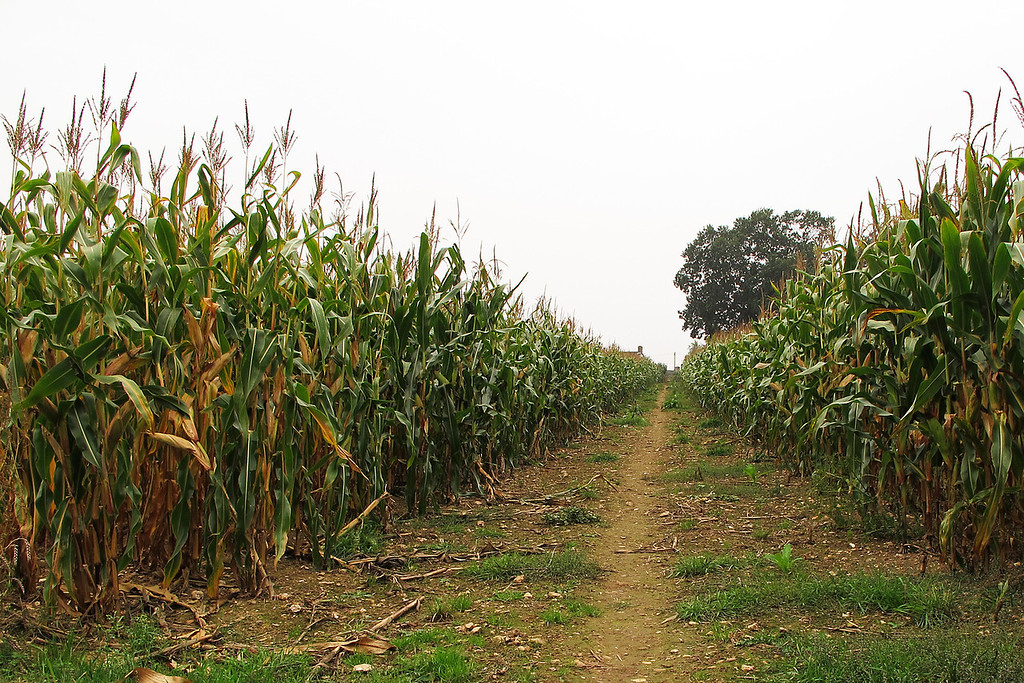 Back towards the start through an avenue of maize.