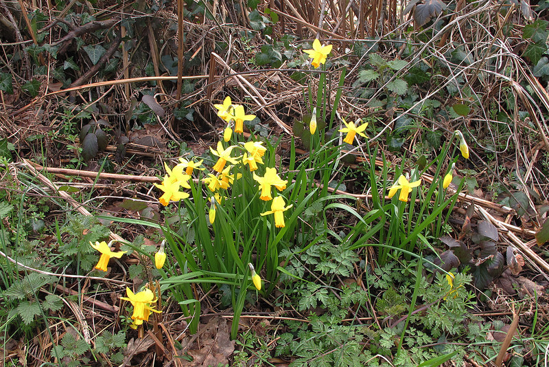Daffodils put on a brave show.