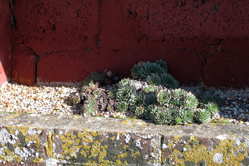 Someone planted these Cacti in a niche in a barn wall.