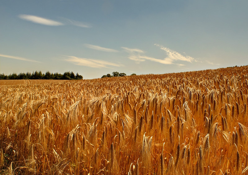 This field of barley will soon be harvested.