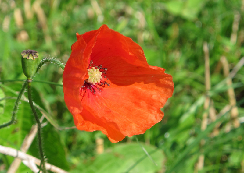 A lovely wind blown Poppy decorates the newly harvested corn fields