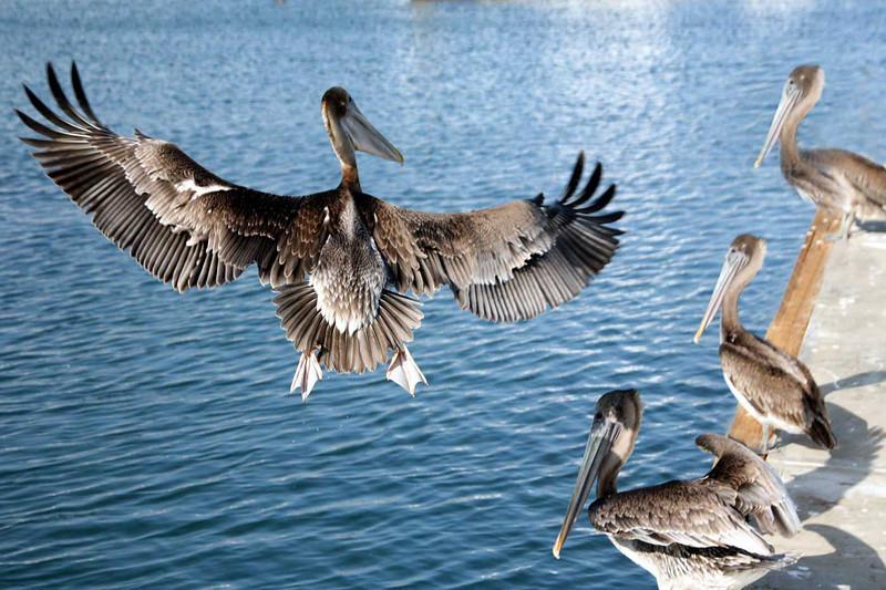 -12-  Леонид Пикус  ,  Птицы Калифорнии.  Birds