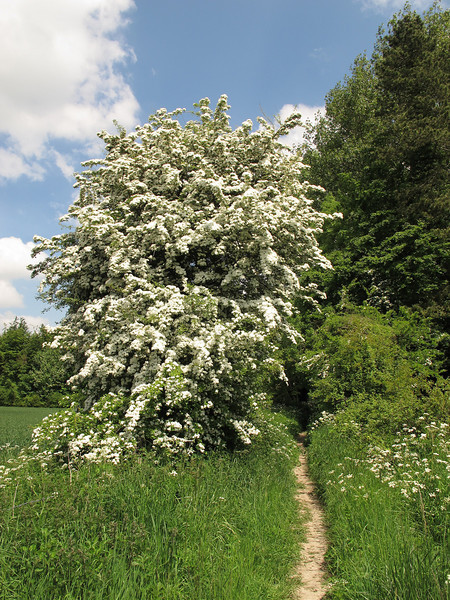 A May tree in full bloom at Littlecombe Bottom.