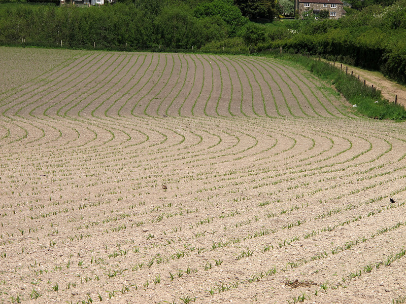 Maize plants growing in fields at Compton Abbas