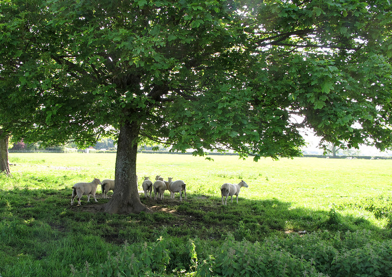 Sheep shelter from the 'blazing' sun.