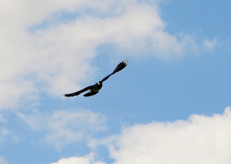 One of several Lapwings performing aerobatics over farmland at Monkton Up Wimborne.