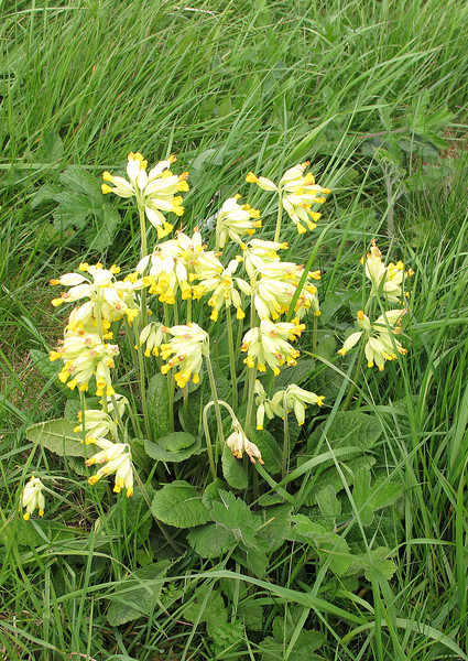 Cowslips in the grassland.