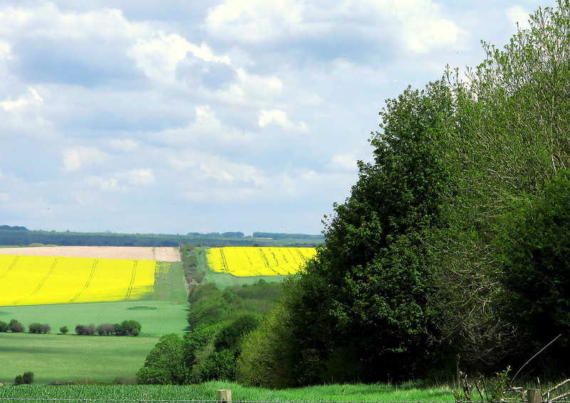 The line of trees are growing on the Roman road which follows the course of Ackling Dyke towards Salisbury.