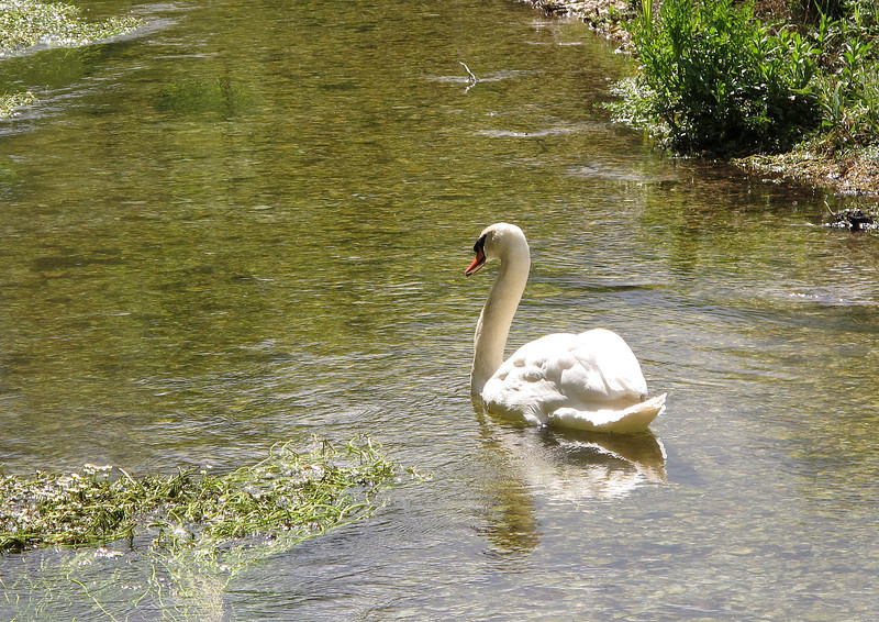 A lone swan sails in the peaceful late morning sunshine in the River Allen near Wimborne St Giles.