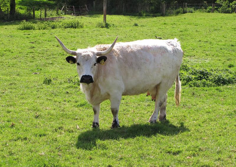 A fine pair of horns on a cow at Cranborne Farm.
