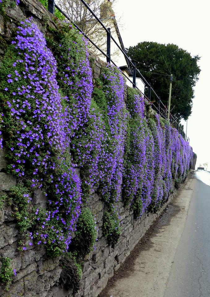 Aubretia in flower on a wall in Stalbridge.