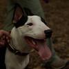 BUD (bull terrier) cuts 3