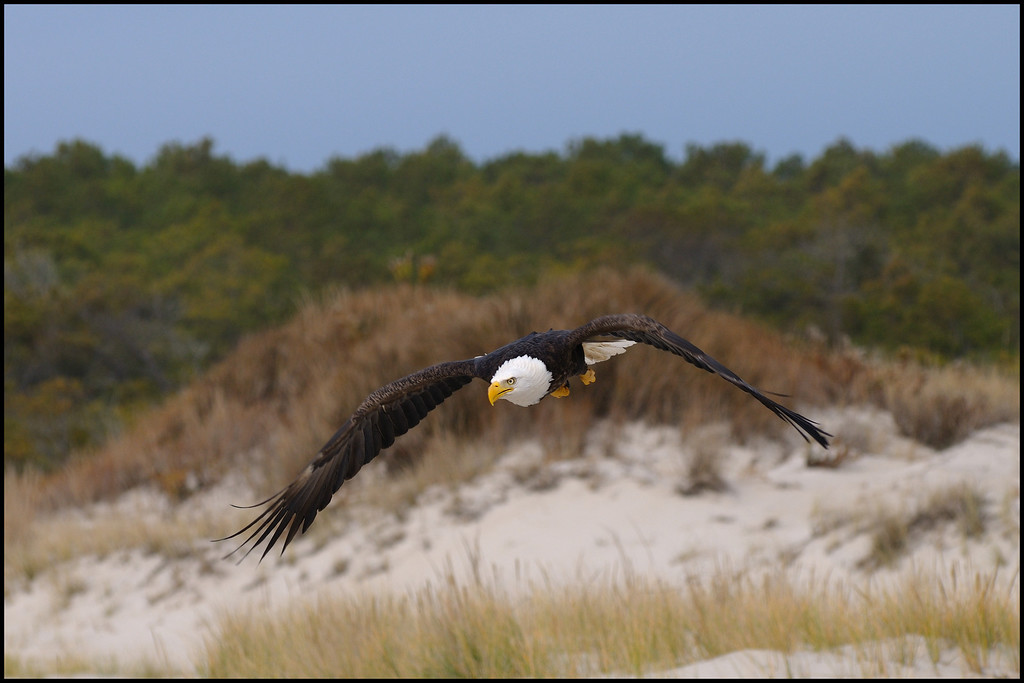 This image used on the 2012 Assateague Annual Park pass, I am humbled by the beauty of this bird........and my good luck to be in the right place at the right time..............