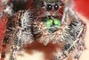 Jumping Spider 66 percent crop