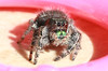 Jumping Spider 16 percent crop