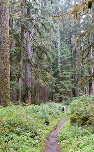 Tall trees in Olympic National Park along the Sol Duc trail
