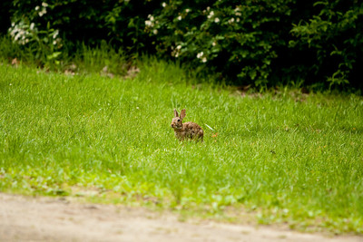 One of the rabbits that inhabits our lawn.  On the far side of the driveway.