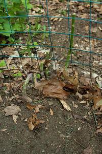 Asparagus in the garden.