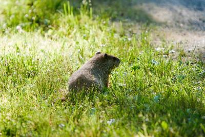 Wood chuck near the driveway.
