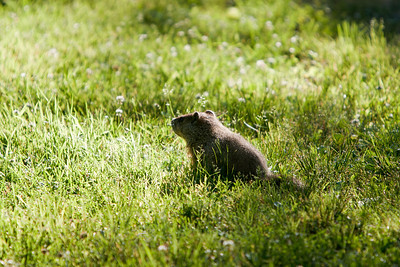 Woodchuck on the lawn.