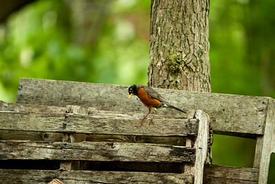 Robin near our wood pile.