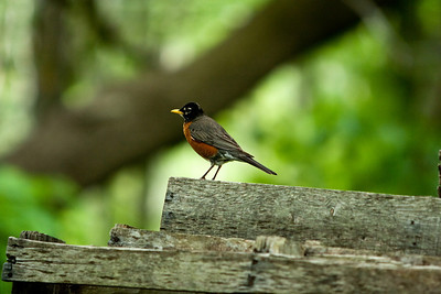 Another view of the robin.