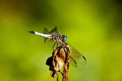 Dragon fly.