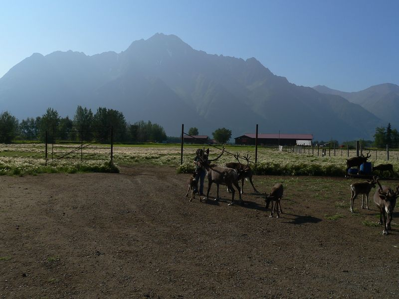 An early stop on the road to Valdez to vist the Reindeer Farm in Palmer, AK