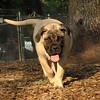 SOPHIE (bull mastiff 18 weeks) 2