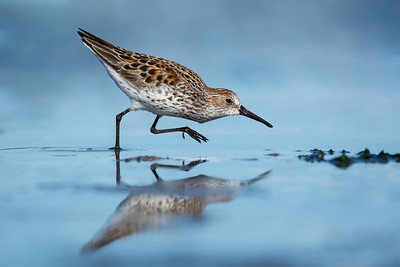 Western Sandpiper  -  A great day lying on the beach, in the mud sand and water :)   The incoming tide kept pushing this Western Sandpiper and 2 least sandpipers closer too me,   you know when you have to zoom out on these birds its a good shoot