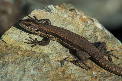 European Wall Lizard an introduced species on Vancouver Island