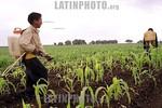 Mexico-Toluca : Ninos se emplean en el campo para fumigar los sembradios de maiz en la comunidad de El Cerrillo Vista Hermosa por 2 dolares al dia . / two boys works on a maize plantation fo ...