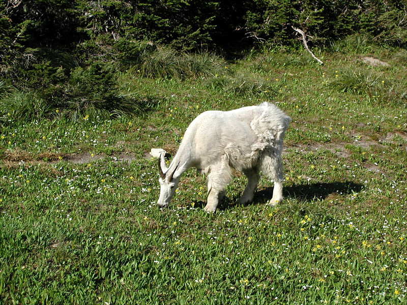 goat eating