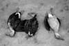Argentina :  Patos recien cazados. Caza. / Freshly hunt ducks. Vinal Pozo, Santiago del Estero, Argentina. May 2009. / Argentinien: Erlegte Enten, tote Enten, geschoossene Enten. Entenjagd. (B/W) ©  Andres Lofiego/LATINPHOTO.org