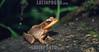 Costa Rica :  Sapo, Parque Nacional Volcan Arenal, marzo de 2002, Area de Conservacion Arenal, Fortuna de San Carlos, Alajuela. / Frog, Volcan arenal national Park, march 2002, Arenal Conservation Area, Fortuna de San Carlos, Alajuela. / Frosch im Nationalpark Arenal. ©  Victor Jaramillo/LATINPHOTO.org