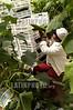Mexico: Recoleccion de pepinos en invernadero de la zona maya en Quintana Roo . / Mexico: cucumbers. / Mexiko: Gurken - Ernte. Plantage. Arbeiter.<br /> ©  Rolando Cordoba/LATINPHOTO.org