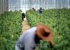 Mexico: Trabajadores en un invernadero de la zona maya de Quintana Roo , dedicado al cultivo de pepino . / Mexico: cucumbers. / Mexiko: Gurken - Ernte. Plantage. Arbeiter.<br /> ©  Rolando Cordoba/LATINPHOTO.org