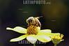 Mexico . Abeja milipona. Es la abeja caracteristica de las zonas mayas , no pica y produce miel que se exporta a Europa. / Mexico: honeybee. / Mexiko: Eine Honigbiene auf einer Blume. Honig aus Mexiko.<br /> <br /> ©  Rolando Cordoba/LATINPHOTO.org