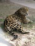 Argentina - Formosa - Guaycolec (25/07/04)  : Yaguarete . Panthera onca. Especie en peligro de extincion. / Argentina : Jaguar.  Panthera onca. Species in extinction danger. / Argentinien :  ...