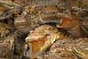 Mexico : Cocodrilos de 6 meses de nacidos son fotografiados en el parque ecologico Croococun en Cancun, Quintana Roo Mexico. / Mexico:  Crocodiles of 6 months of having been born are photographed in the ecological park Croococun in Cancun, Quintana Roo Mexico. / Mexiko: Krokodile in einem ökologischen Park in Cancun. © Israel Leal/LATINPHOTO.org