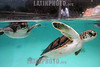 """Mexico : Tortugas marinas nadan en un acuario en el parque ecologico de Xcaret que significa """"pequena Caleta"""", ubicado en la riviera Maya en el estado de Quintana Roo, Mexico y al termino de un aÒo seran liberadas en el mar para continuar con su vida silvestre. / Mexico: Marine turtles swim in an aquarium in the ecological park of Xcaret that means """"small Creek"""", located in the Mayan riviera in the state of Quintana Roo, Mexico and to the finish of one year they will be liberated in the sea to continue with their wild life. / Mexiko: Schildkröten schwimmen im oekologischer Park Xcaret. Naturpark. Riesenschildkröten. Geschützte Tierart. © Mario Vazquez/MVT/LATINPHOTO.org"""