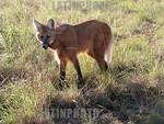 Argentina - Formosa - Guaycolec (25/07/04)  : Aguara guazu. Lobo de crin. Lobo rojo. Lobo crinado. Lobo o zorro de los Esteros. Chrysocyon brachyurus. Especie en peligro de extincion. / Arge ...