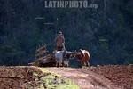 Cuba - Pinar del Rio Province : Un hombre en una carreta tirada por bueyes pasa a traves de un campo de tabaco / A man ride bulls on a carriage / Kuba: Ein Arbeiter f�hrt mit einem Ochsenka ...