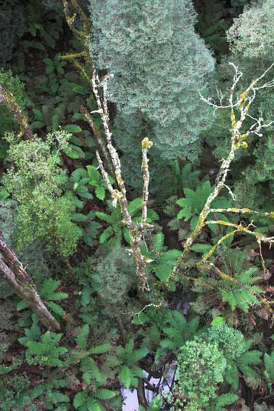 Looking down on tree ferns and beech myrtle.