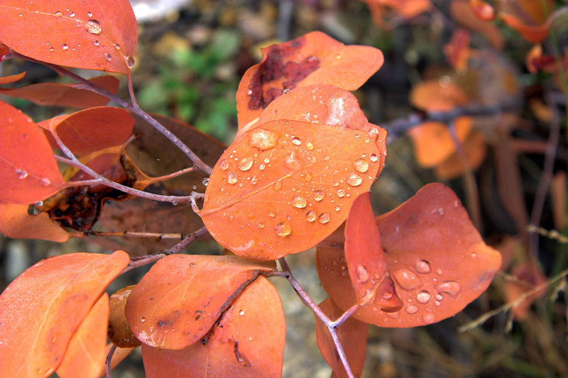 Water on gum leaves.